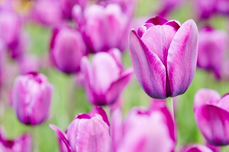 Many purple tulips blooming in spring in a field Stock Photo - 20233954