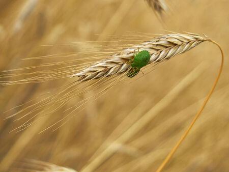 Green stink bugs (palomena prasina) on a wheat spike photo