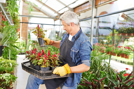 floristry: Man holding woolflower in a crate in a nursery shop