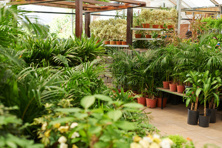 garden center: Many green plants for sale in a nursery shop