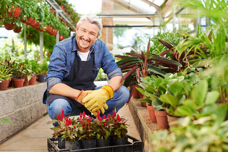 Smiling elderly gardener sitting with crate of woolflower in a greenhouse