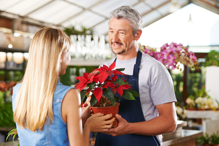 business christmas: Woman buying pot of poinsettia in nursery of a garden center