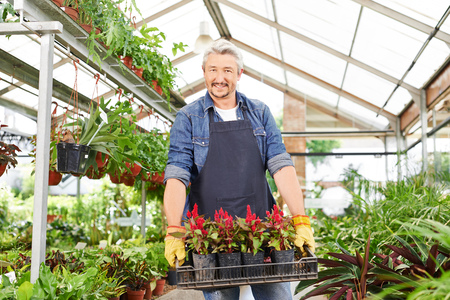 garden staff: Happy gardener in a nursery shop carrying a crate of flowers (celosia)