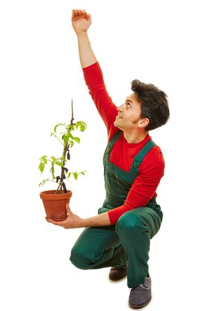 estimating: Gardener estimating growth of tomato plant in his hand Stock Photo