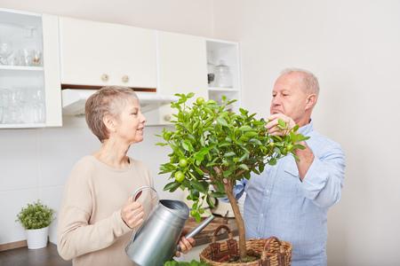 Senior couple gardening in their kitchen their fruit tree in teamwork Stock Photo