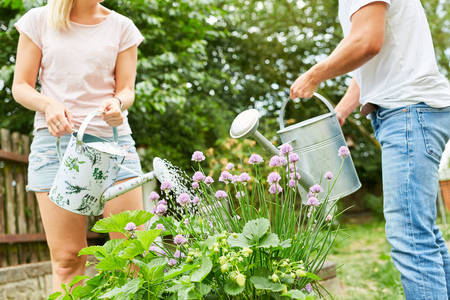 Couple as a hobby gardener in the garden or allotments when watering flowers