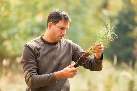 Forest worker or forester controls the quality of the root of pine seedling