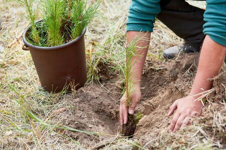 Forestry worker planting pine seedling for sustainable forestry