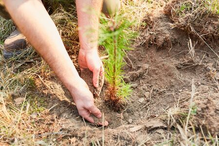 Hands of forest workers plant pine seedling in the soil during reforestation