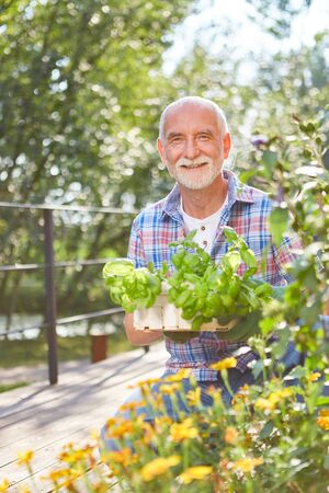 Happy senior man with basil to plant in herbal garden 写真素材