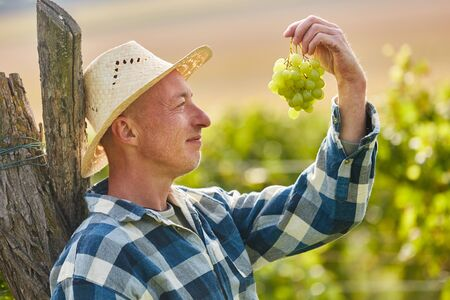 Winegrower looks at a vine of white grapes harvesting grapes