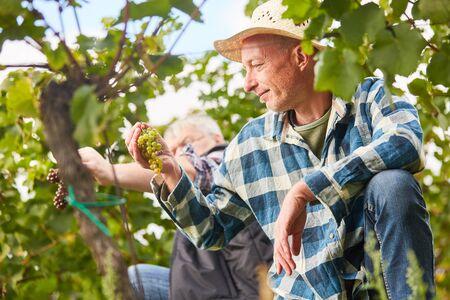 Entenhelfer ernten Trauben bei der manuellen Weinlese im Weinberg Standard-Bild