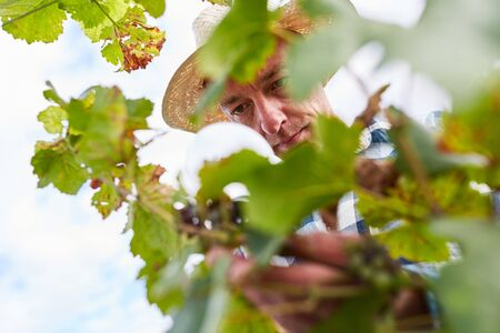 Winemaker with magnifying glass checking vine in the vineyard