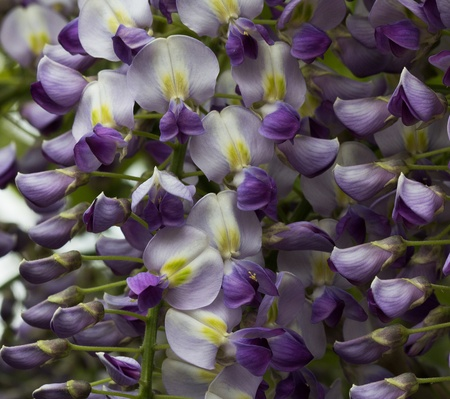 wisteria: Blooming wisteria plant
