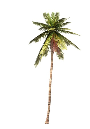 coconut palm on white background