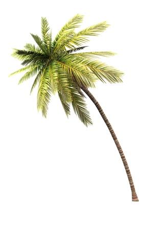 Kokospalme auf weißem Hintergrund Standard-Bild