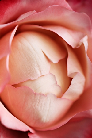 Soft rose macro