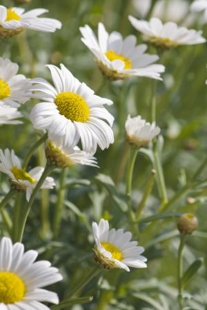 margarite: White margarites in the park
