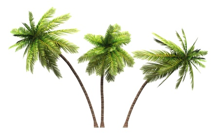 palm fruits: Coconut palms 3x 3D isolated
