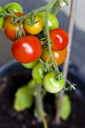 tomate de arbol: Los tomates de colores Foto de archivo