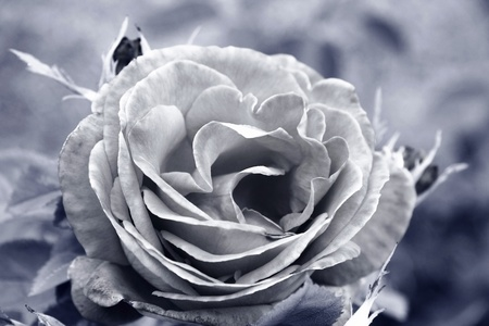 Old black and white rose photo