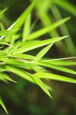 Fresh green bamboo background photo
