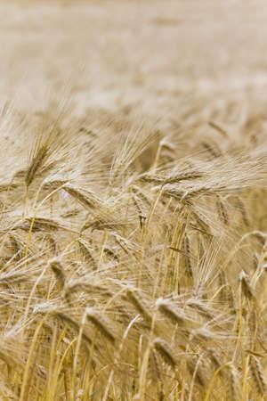 Background - Golden Harvest