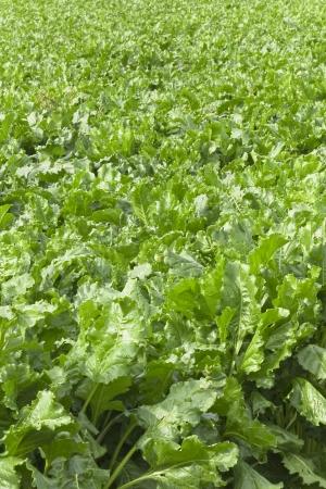 backplate: Background - turnip field Stock Photo