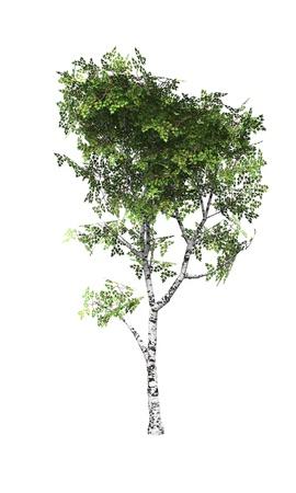 white birch tree: Young birch