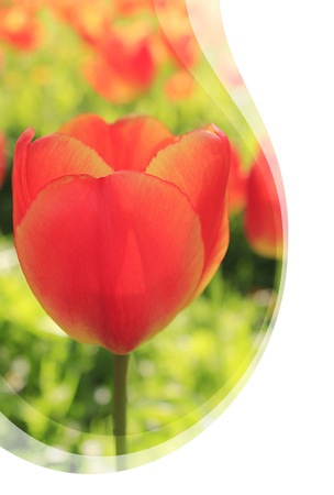 Invitation card with waves - Red Tulips