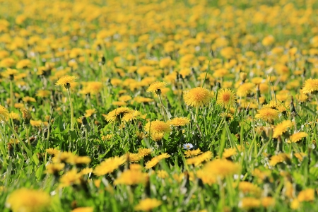 curren: Dandelion meadow Stock Photo