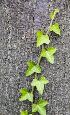 trunk  tree: Hiedra sobre tronco de �rbol Foto de archivo