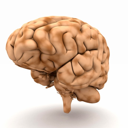 anatomy brain: Brain - a view of half-right Stock Photo
