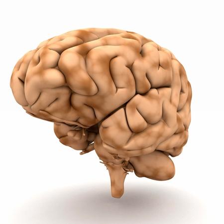 Brain - a view of half-right Standard-Bild