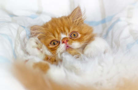 The little red Persian cat photo