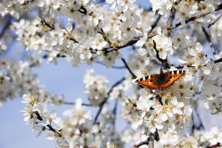 fleur de cerisier: Papillon sur fleurs de cerisier Banque d'images