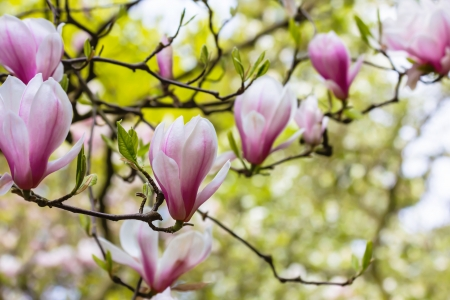 The magnolia is blooming photo