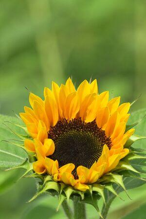 backplate: Sunflower Bokeh Stock Photo