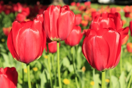 beautiful red tulips close up: Background - Red Tulpenwiese