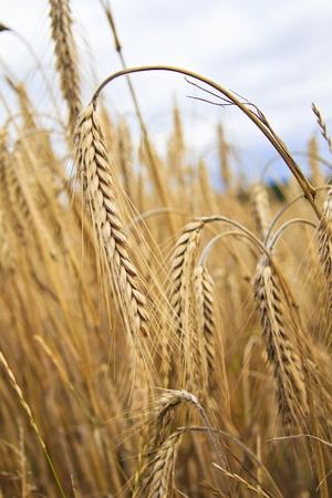 backplate: Grain detail - Vertical Stock Photo