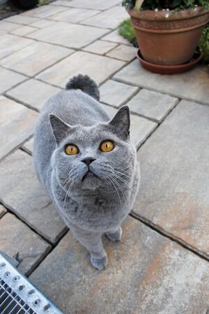 Curious gray cat - British Shorthair Stock Photo - 16526012