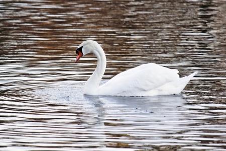 condolence: The swan Stock Photo