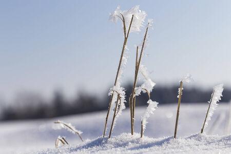 Frosty straws Stock Photo