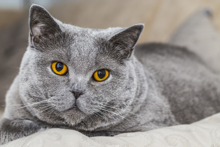 british shorthair: Grey Cat - British Shorthair