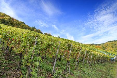vineyard: german vineyard scene 3 Stock Photo