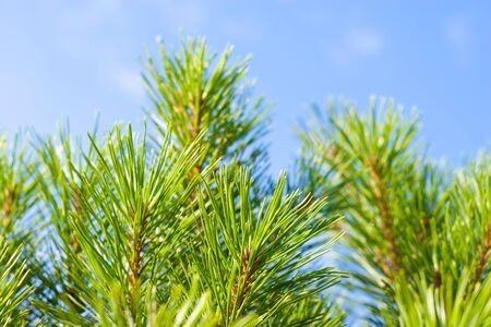 sunshines: Pine-tree branches on a background of a blue sky. Stock Photo