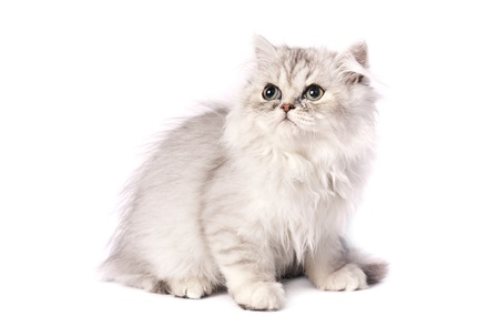 persian kitten on a white background  Studio shot