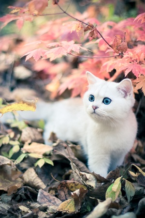 Lovely chinchilla kitten walking in a mysterious autumn forest Stock Photo