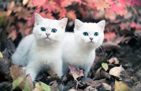 Lovely chinchilla kittens walking in a mysterious autumn forest photo