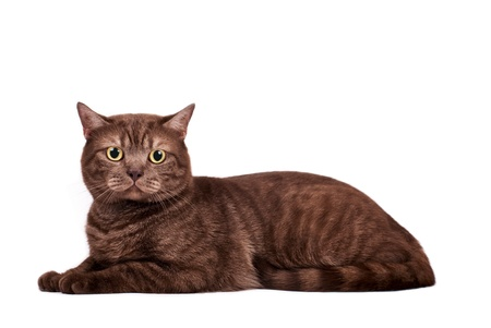 Portrait of a British Shorthaired Cat on a white background. Studio shot. photo